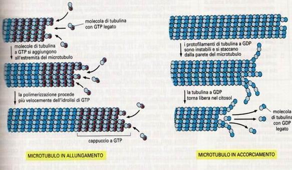 Il cappuccio a GTP è essenziale per l'allungamento; in sua assenza il microtubulo depolimerizza