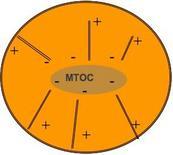 Schema di un MTOC