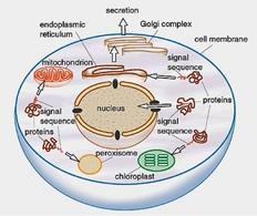 Smistamento delle proteine ai vari organelli in dipendenza di specifiche sequenze segnale