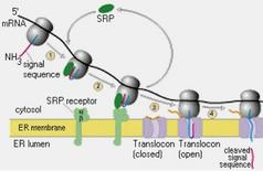 Schema della importazione co-traduzionale delle proteine al RER