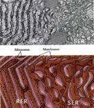 Micrografia elettronica e ricostruzione schematica del REL