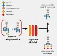 I due tipi principali di oligosaccaridi prodotti dal Golgi