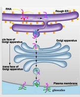 Schema della maturazione e smistamento delle glicoproteine alla membrana plasmatica