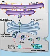 Modello della maturazione e smistamento delle proteine lisosomiali