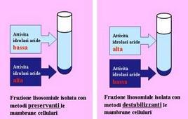 Esperimenti di De Duve sulla attività delle idrolasi acide
