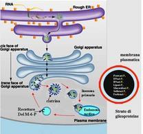 Maturazione e smistamento delle proteine lisosomiali e strutture dei lisomi primari