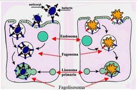 La fagocitosi di microrganismi (a sinistra) e di materiale abiologico a destra
