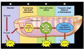 Schema della respirazione cellulare aerobica: la demolizione del glucosio produce 36 molecole di ATP. Fonte: Università di Roma Tor Vergata