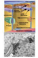 Schema e micrografia elettronica dei sistemi di giunzioni che si rinvengono nelle cellule epiteliali