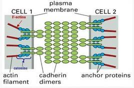 Schema delle proteine coinvolte nelle giunzioni aderenti a fascia – zonula adherens
