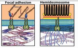 Rappresentazioni schematiche a contronto dei contatti focali (a sinistra) e degli emidesmosomi