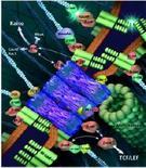 Interazione dei connessoni (blu) con il microfilamenti (celeste) e i microtubuli (verde)