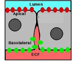 Rappresentazione della porzione apicale e basolaterale della membrana delle cellule epiteliali