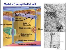 Schema e micrografia elettronica dei tipi di giunzioni presenti tra cellule epiteliali adiacenti