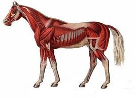Diagram of musculature in a horse. Taken from Horse Disease