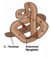 Diagram of a myoglobin molecule