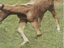 Example of congential arthrogryposis in a calf