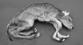 Congenital arachnomelia and arthrogryposis in a cow