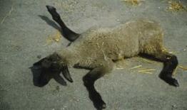 Example of skeletal deformity in young lamb