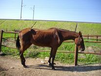 Serious visible muscle atrophy in an older horse