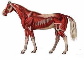 Raffigurazione schematica della muscolatura del cavallo. Immagine da  Horse Disease .