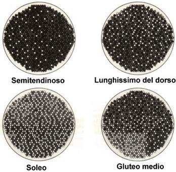Distribuzione dei tipi di fibre in 4 muscoli di un pony adulto