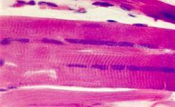 Fibre muscolari in sezione longitudinale