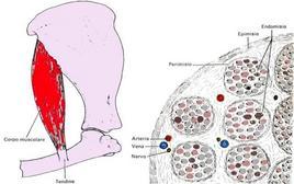 Schema della struttura e caratteristiche del muscolo scheletrico normale. Immagine modificata da: Anatomia veterinaria sistematica e comparata di Pelagalli Gaetano V. – Botte Virgilio  Edi. Ermes.