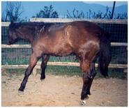Puledro affetto da grave rigidità articolare e deformità dell'estremità distale dell'arto.