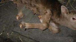 Esempio di deformità delle estremità nel vitello.