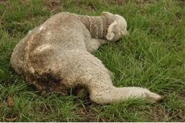 Grave debolezza in un ovino.