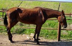 Grave atrofia muscolare evidenziabile in un cavallo anziano.