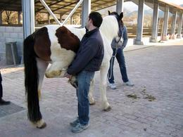 Visita clinica di un cavallo con zoppia.