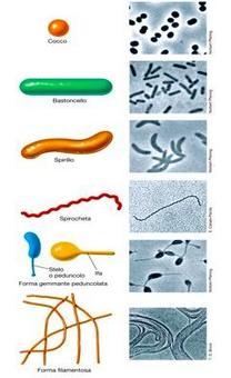 Figura 15. Immagine riassuntiva delle principali morfologie dei procarioti
