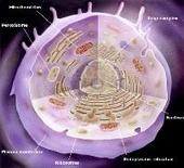 Figura 16. Struttura di una cellula eucariotica