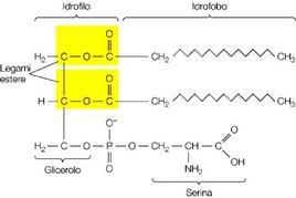 Fig. 5.  Struttura di un fosfolipide complesso: glicerol fosfatidil serina