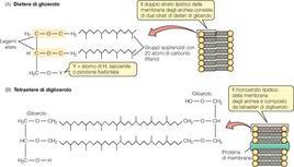 Fig. 7. Tipologie di membrana cellulare degli Archea: doppio e singolo strato lipidico