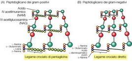 Figura 5. Rete bidimensionale del peptidoglicano dei batteri Gram+ e Gram-