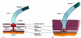 Figura 8. Corpo basale in un batterio Gram negativo (a) e Gram positivo (b)