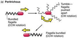 Figura 11. Modalità del movimento dei procarioti con flagelli peritrichi