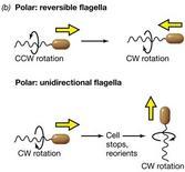 Figura 12. Modalità del movimento dei procarioti con flagelli polari