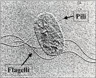 Figura 16. Pili e flagelli presenti superficialmente alla cellula batterica