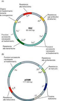 Figura 20. Prodotto dei geni contenuti nei plasmidi o loro funzione: plasmide RK2 (A) e plasmide pCG86 di Escherichia coli (B)