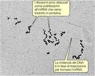 Figura 13. Struttura dei poliribosomi legati all'mRNA