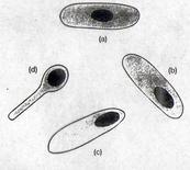 Figura 15. Disposizione della spora: centrale(a), subterminale e terminale (b, c e d)