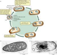 Figura 18. Fasi della sporogenesi (a). Stadio iniziale (b) e spora matura nello sporangio (c)