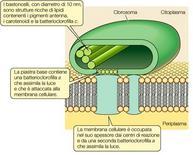 Figura 10. Organizzazione di un clorosoma in un solfobatterio verde