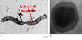 Figura 12. Magnetosoma e particelle di magnetite in Magnetospirillum magnetotacticum