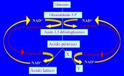Figura 11. Schema del processo fermentativo per la riossidazione del NADH