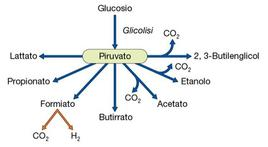 Figura 12.  Diverse vie fermentative che partono dall'acido piruvico